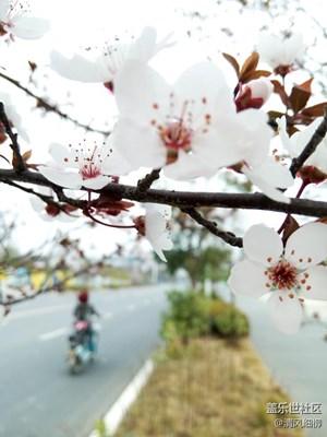 樱花的祖宗在中国