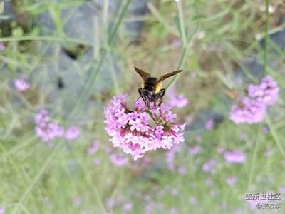 [摄影]马鞭花上的小蜜蜂