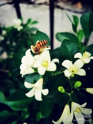 【摄影】园圃的九里香引来了一只小蜜蜂