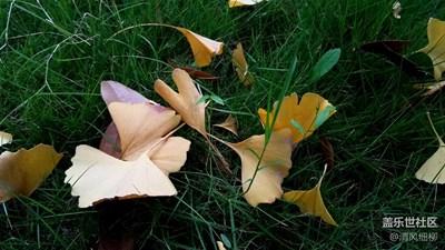 冬来银杏黄————迟来的爱