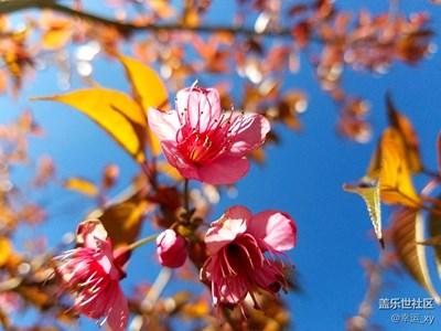 樱花,冬日里的色彩