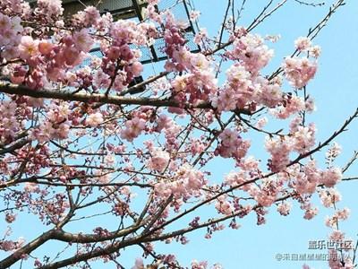 春来了+张家港+三月粉樱暖春风