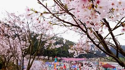 三月樱花季
