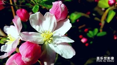 海棠依旧,樱花绽放