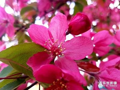 火红海棠花