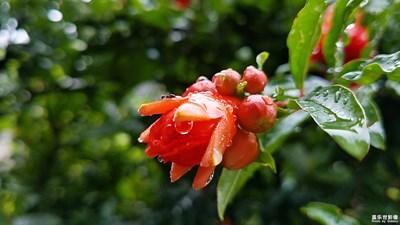 雨润石榴红