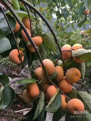 家乡的柿子熟了