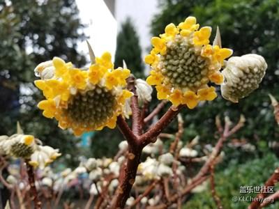拍了才知道-冬日的向日葵🌻(结香花)