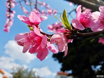【春风】+桃花争艳