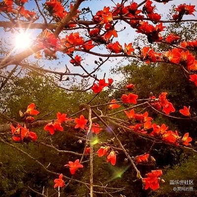 【春风】+昌化江畔木棉红
