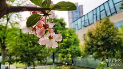三月樱花粉美人