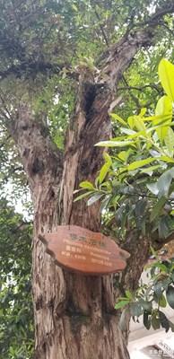 430多年椤木石楠