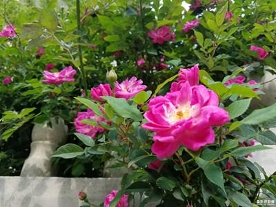 蔷薇(二)