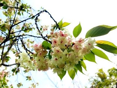多彩的樱花