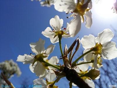 一树梨花压海棠