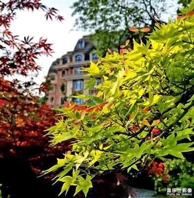 【人间四月天】 四月枫叶花相伴,春不踏尽不归巢。