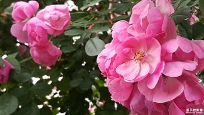 【中国最美瞬间】+蔷薇花开