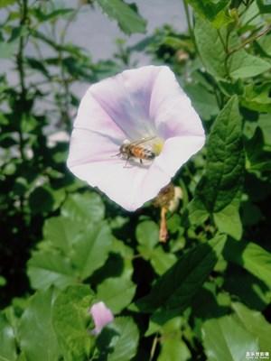 蜜蜂对花的情意