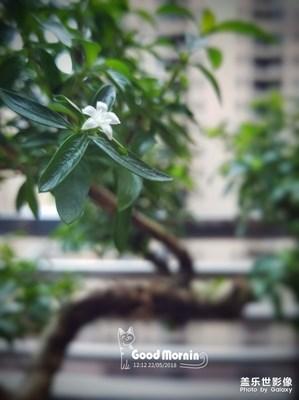 """阳台上的盆栽""""六月雪"""""""