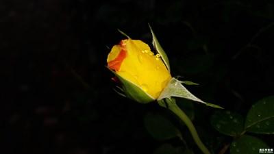 [中国最美瞬间]+玫瑰