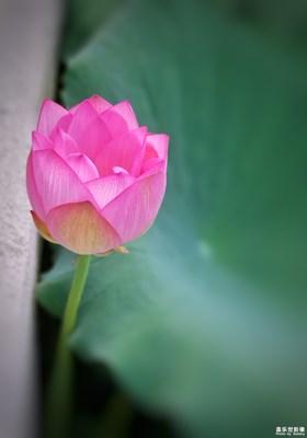 盖乐世摄影周赛第55期——夏之花