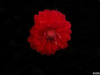 【夏之花】+牡丹
