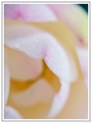 《夏之花》+荷韵