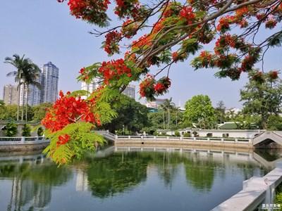 【夏之花】+凤凰花开,在最美的季节