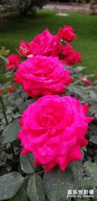 天坛公园月季花