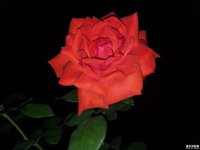 最美瞬间-玫瑰🌹的白天和黑夜