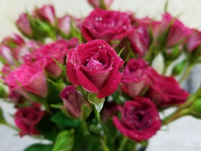 最美瞬间-小玫瑰