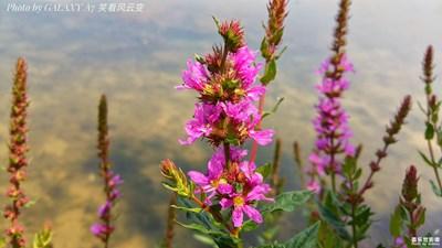 【最美南湖】+左岸之花