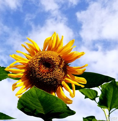 最美瞬间-向日葵花开