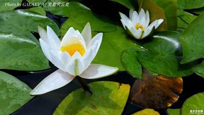 【唯美视界】+白莲花
