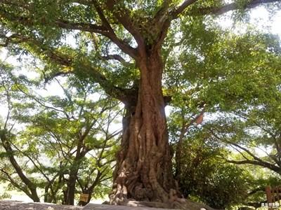 最美瞬间-古榕树