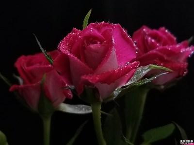 最美瞬间-娇艳玫瑰🌹玫瑰