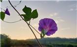 七夕---美丽的牵牛花也可以表达爱情