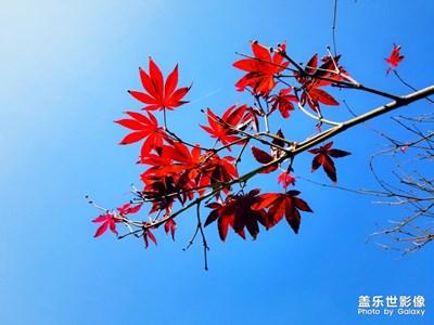 新霜染枫叶