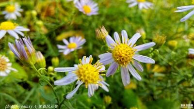 【雨后清新】+純美海紫苑