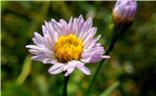 【雨后清新】+纯美海紫苑