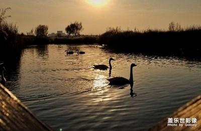 重阳.湿地.天鹅
