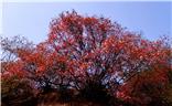 秋赏红叶正当时---安泽红叶岭
