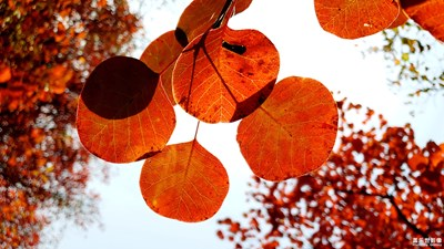 【秋至】+霜叶已红透,天凉好个秋