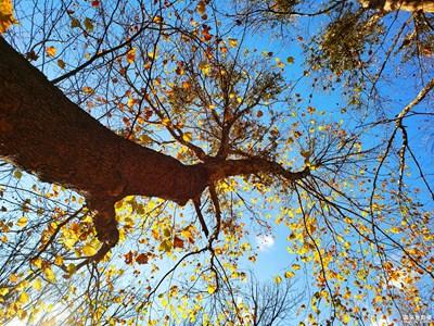 梧桐树的色彩