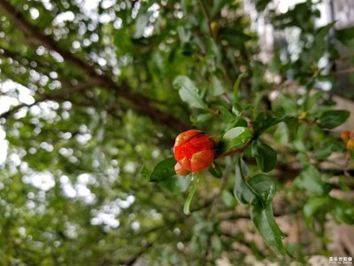 【迎春万象】+花苞