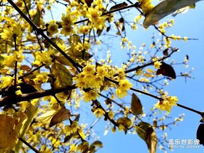 【迎春万像】+公司里的腊梅花