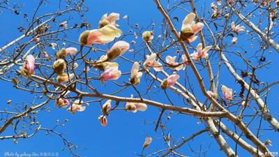 【三月】那株初开的玉兰