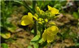 从青葱到盛开,记这一抹黄绿