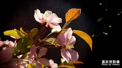 【风光之美】+海棠花开