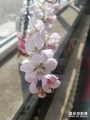 【阳光的味道】桃花朵朵开